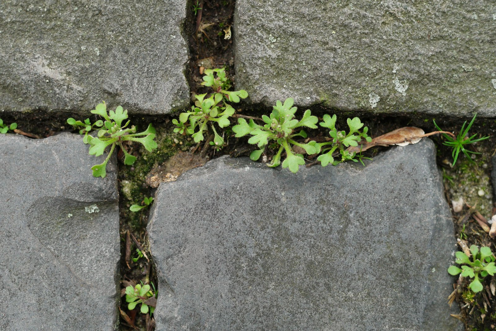 Saxifraga tridactylites