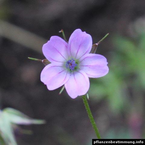 geranium columbinum