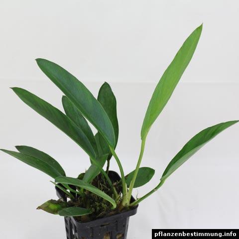anubias heterophylla