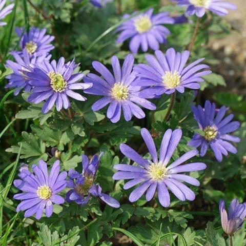 blau blühende pflanzen und blumen bestimmen - Garten Blumen Blau