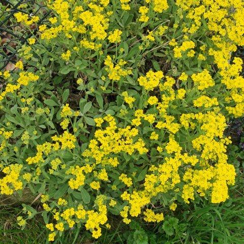 Gelb Bluhende Pflanzen Und Blumen Bestimmen