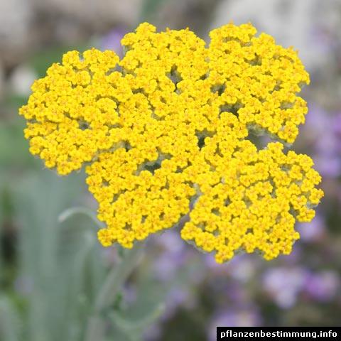 gelb blühende pflanzen und blumen bestimmen, Garten Ideen