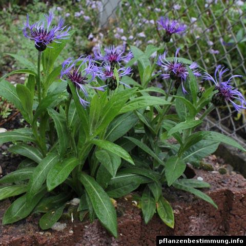 centaurea montana. Black Bedroom Furniture Sets. Home Design Ideas