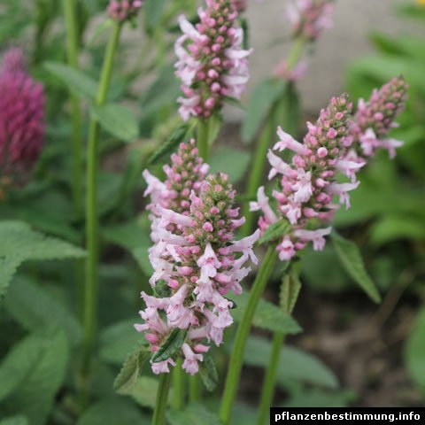 stachys officinalis rosea