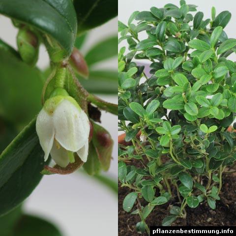 Vaccinium vitis-idaea (Preiselbeere, Kronsbeere)