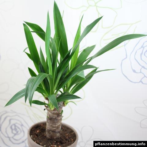 yucca gigantea. Black Bedroom Furniture Sets. Home Design Ideas