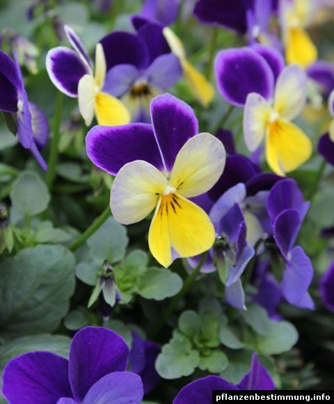 Viola cornuta for Viola cornuta inverno