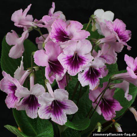 Streptocarpus-Hybride