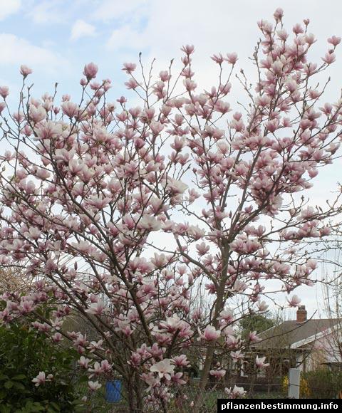 magnolia soulangeana. Black Bedroom Furniture Sets. Home Design Ideas