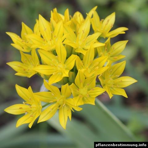 gelb blühende pflanzen und blumen bestimmen, Gartenarbeit ideen