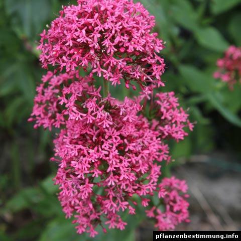 Pflanzenbestimmung rote blüten