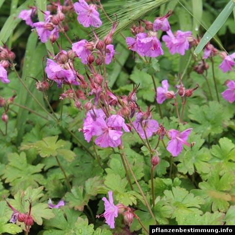 Geranium macrorrhizum Bevan