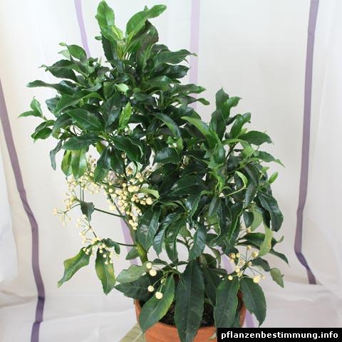 gr ne zimmerpflanzen bestimmen 3 unbekannte gr ne zimmerpflanzen pflanzenbestimmung. Black Bedroom Furniture Sets. Home Design Ideas