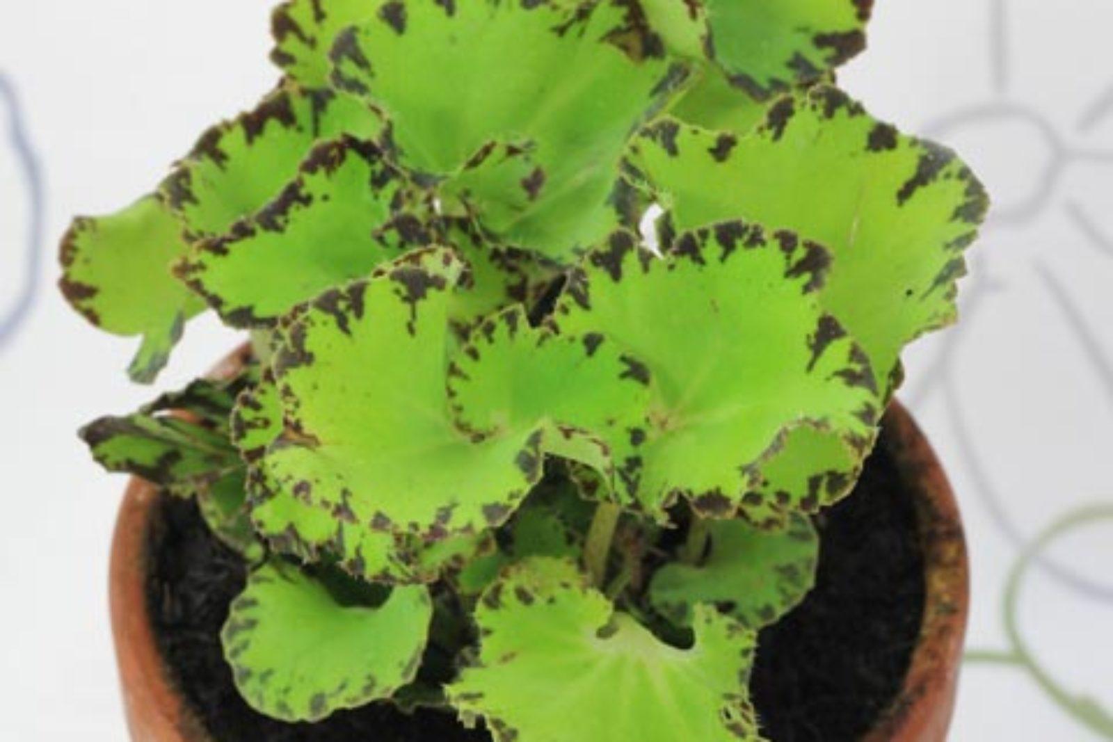 Begonia bowerae