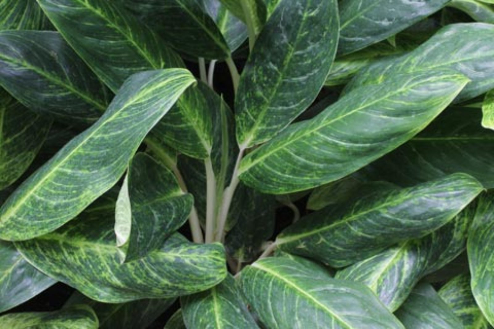 Aglaonema sp