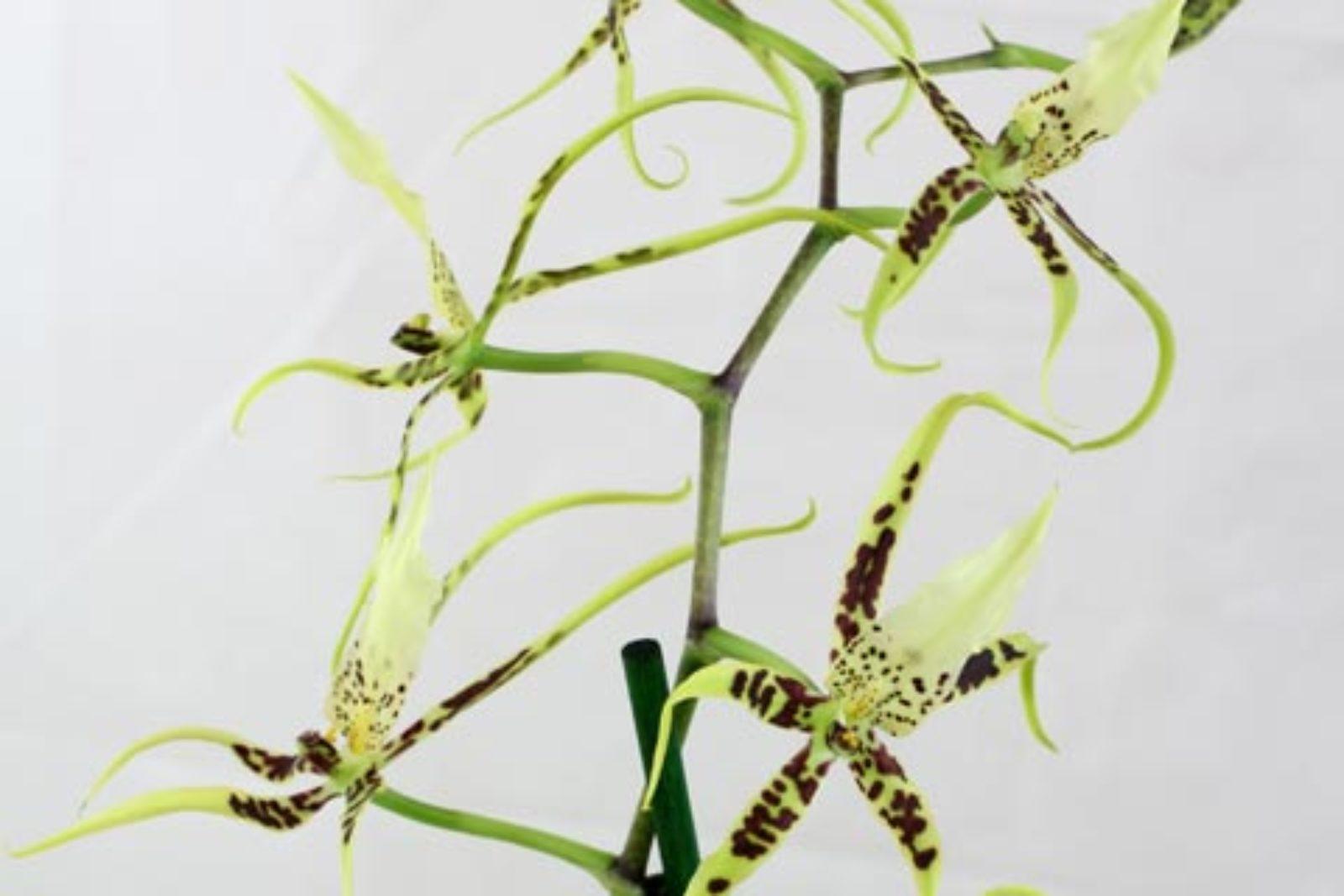 Brassia-Hybride