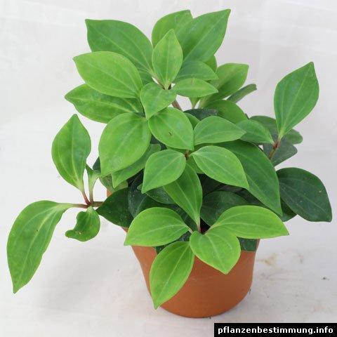 Peperomia pereskiifolia