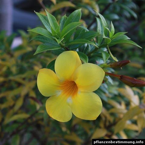 gelb blühende pflanzen und blumen bestimmen, Terrassen ideen