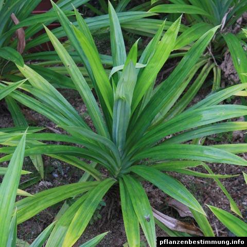Pandanus amaryllifolius