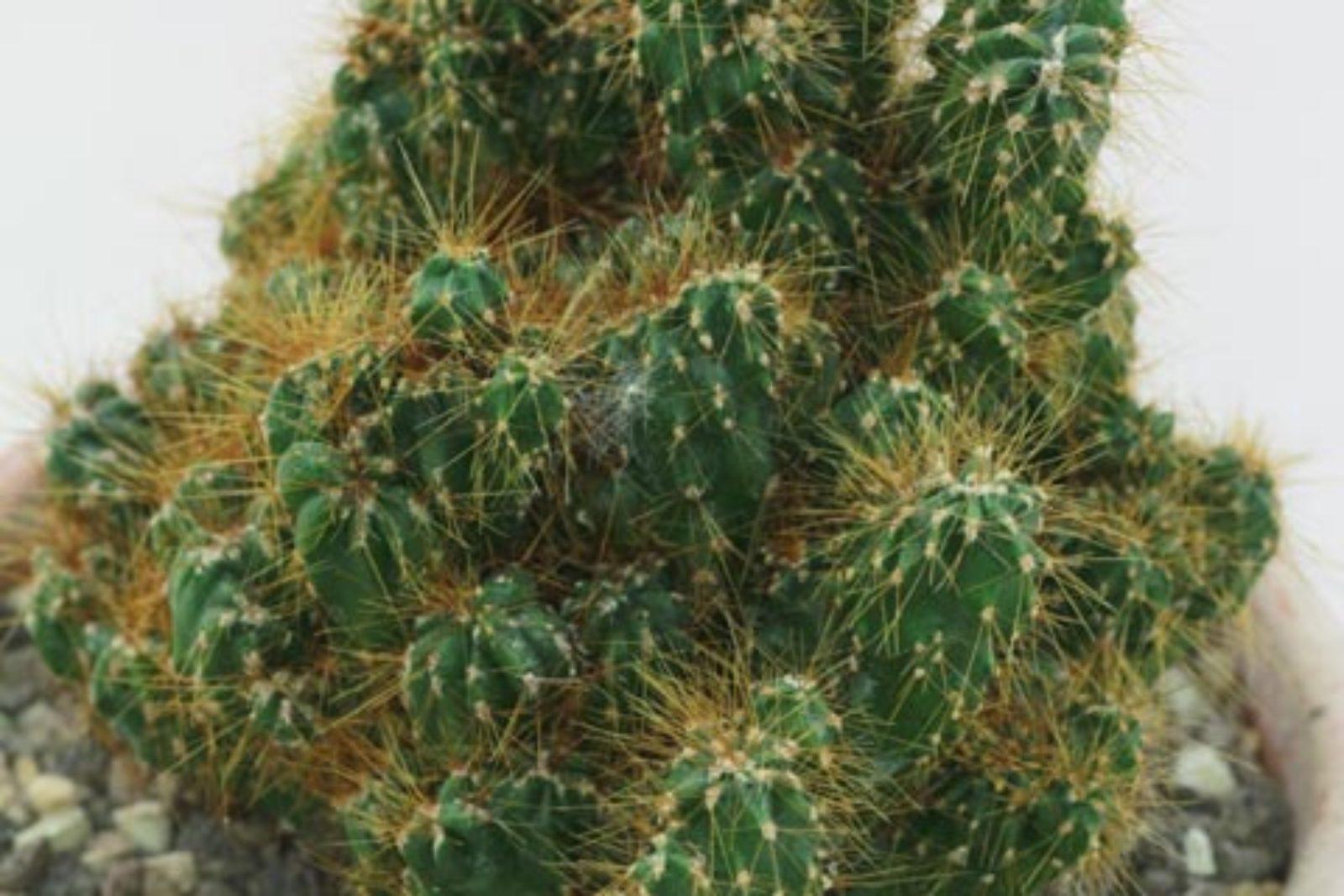 Cereus repandus var. monstrosus