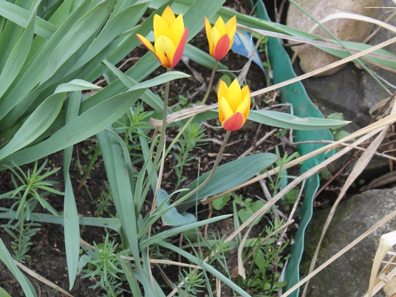 Damen-Tulpe