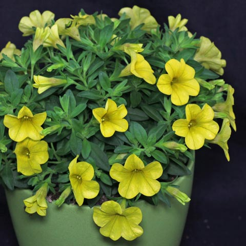 Calibrachoa Superbells Yellow
