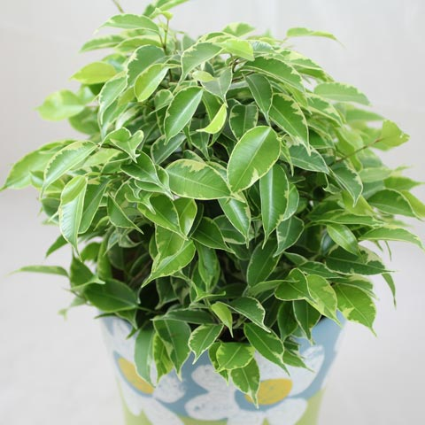 Ficus benjamina Kinky