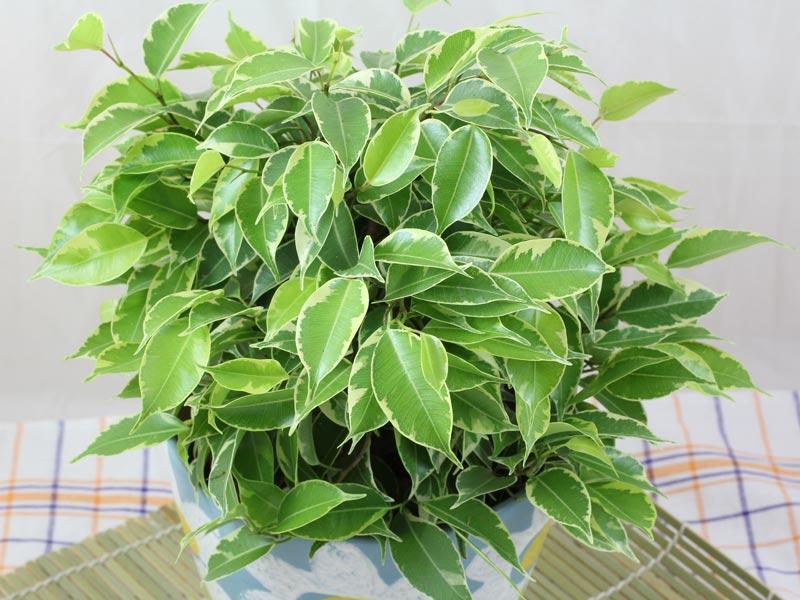 Ficus benjamina kinky for Ficus benjamin potatura