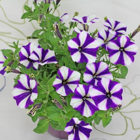 Petunia Peppy Blue