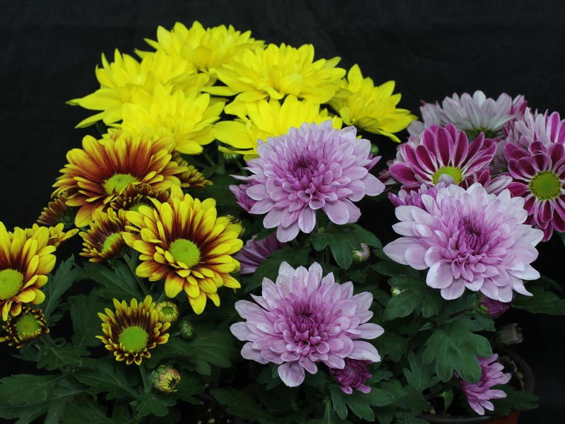 chrysanthemum indicum hybriden. Black Bedroom Furniture Sets. Home Design Ideas