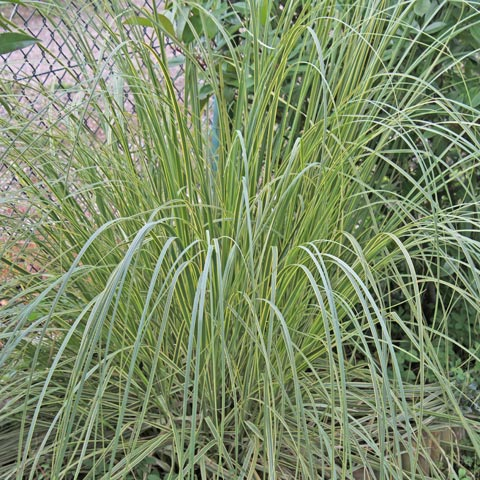 Cortaderia selloana Gold Band