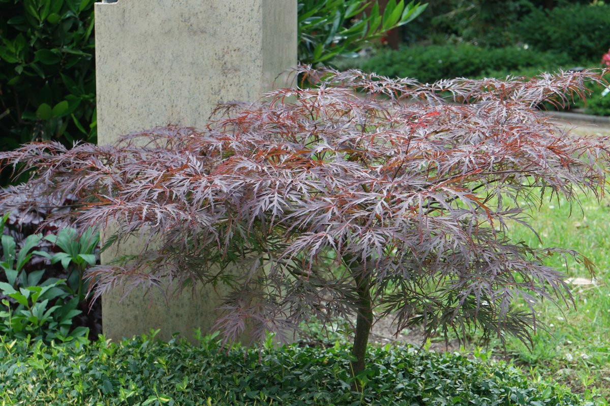 acer palmatum dissectum atropurpureum. Black Bedroom Furniture Sets. Home Design Ideas