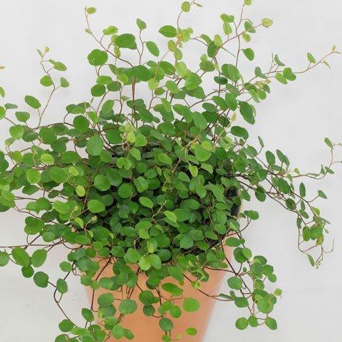 Kletterpflanzen - Kletterpflanzen zimmer ...