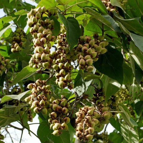Paulownia tomentosav