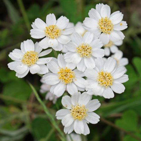 Weiß blühende Blumen und Pflanzen bestimmen