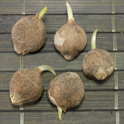 Allium Knollen