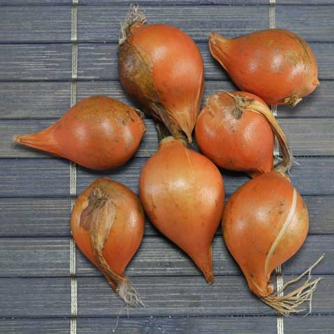 Tulipa sylvestris Knollen