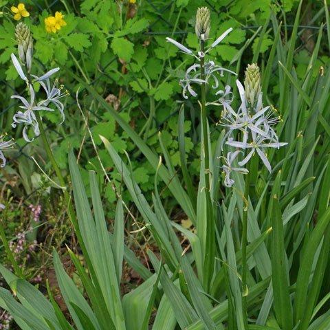 Blau Bluhende Pflanzen Und Blumen Bestimmen