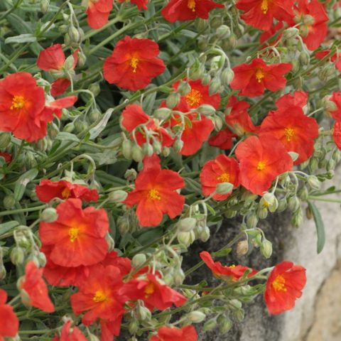 Helianthemum Henfield Brillian