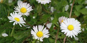 Ab 7 Blütenblätter