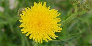 Dichte Blüten