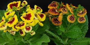 Mehrfarbige Blüten