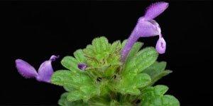 Zygomorphe Blüten