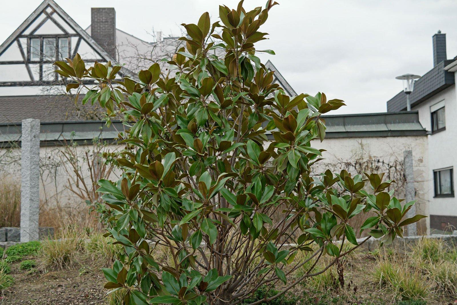 Immergrüne Magnolie