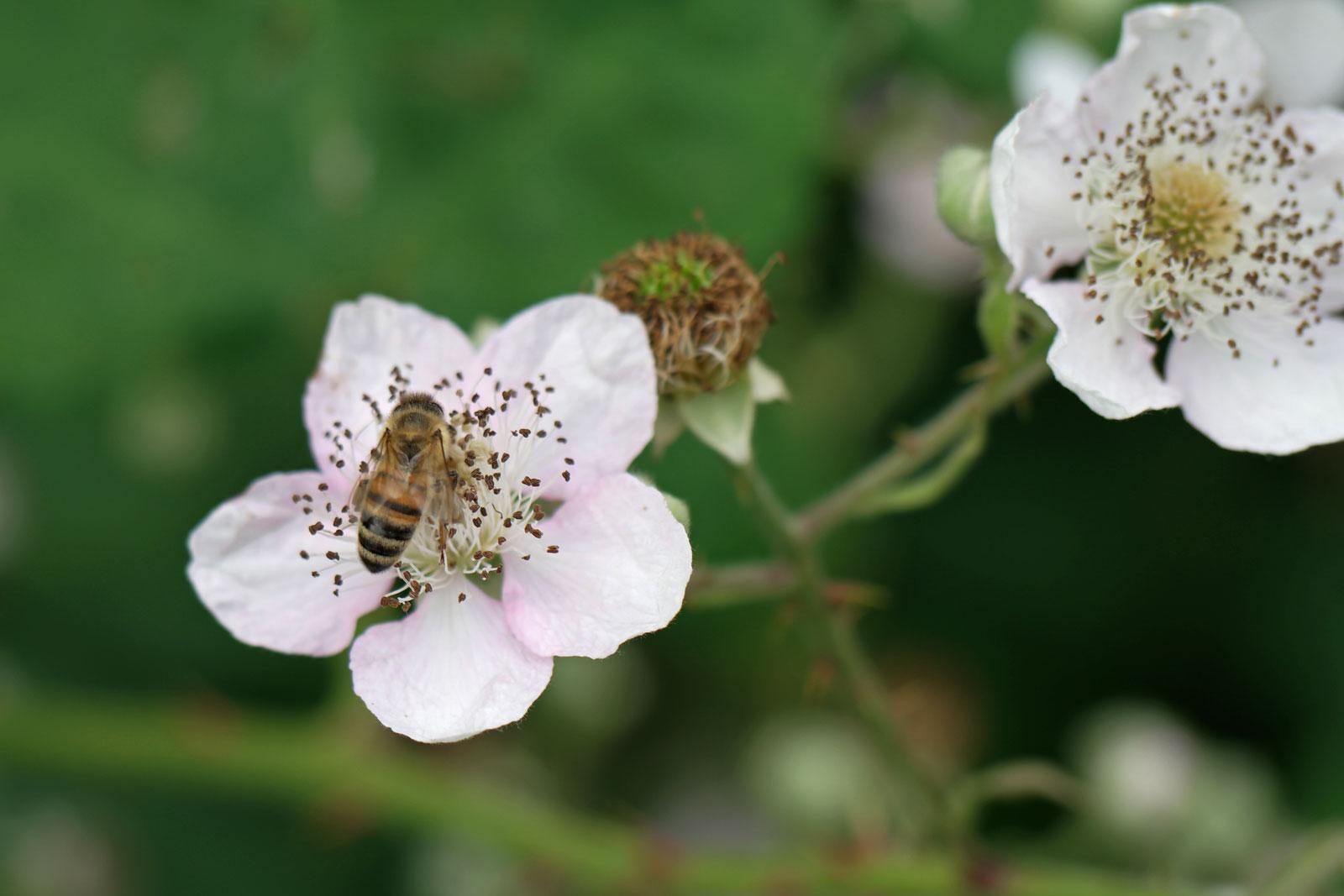 Rubus fruticosus 3