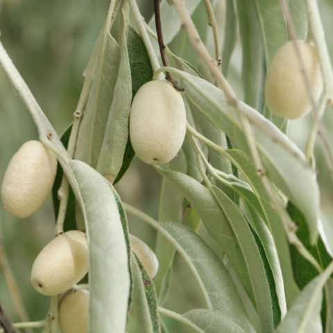 Beeren Elaeagnus angustifolia