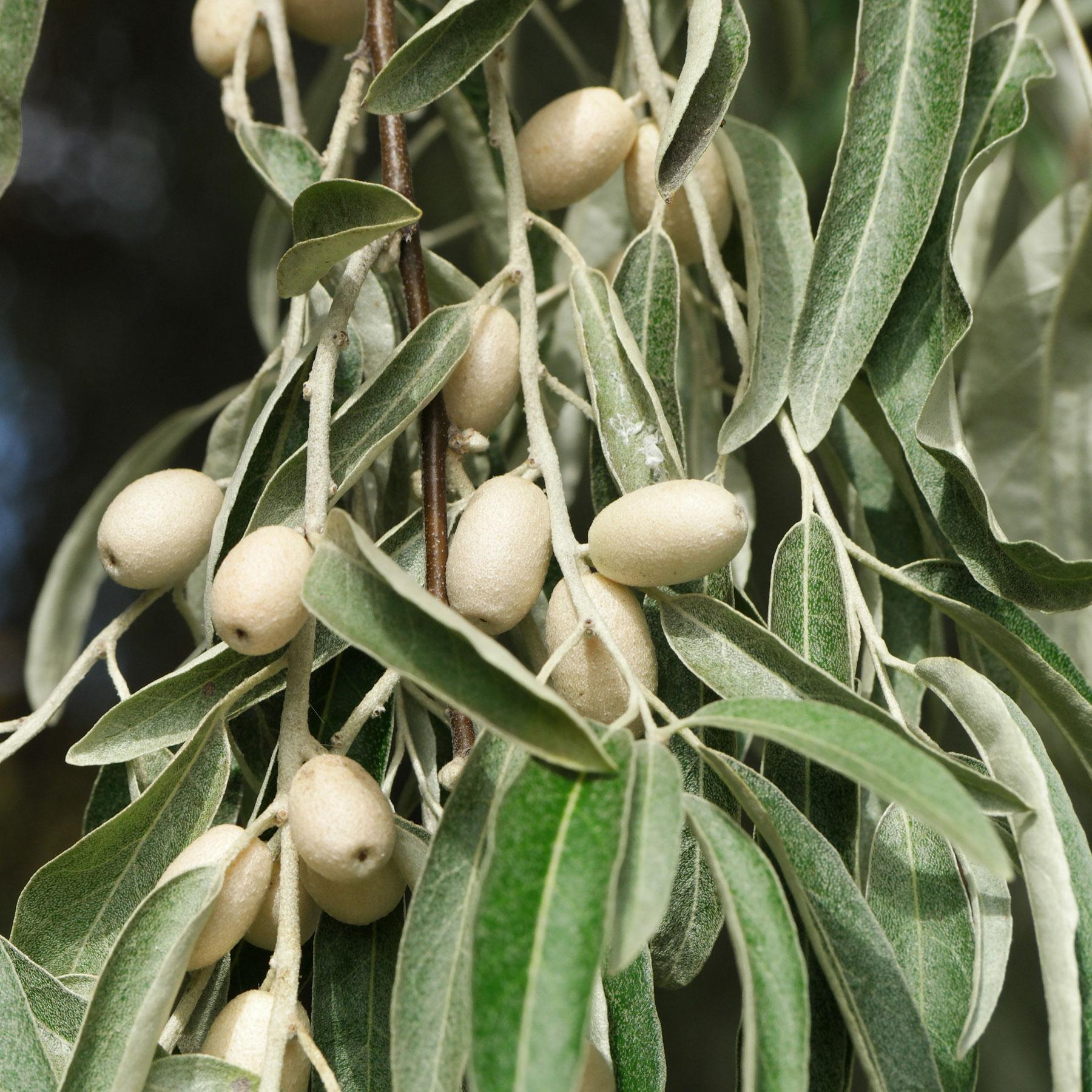 Schmalblättrige Ölweide Beeren