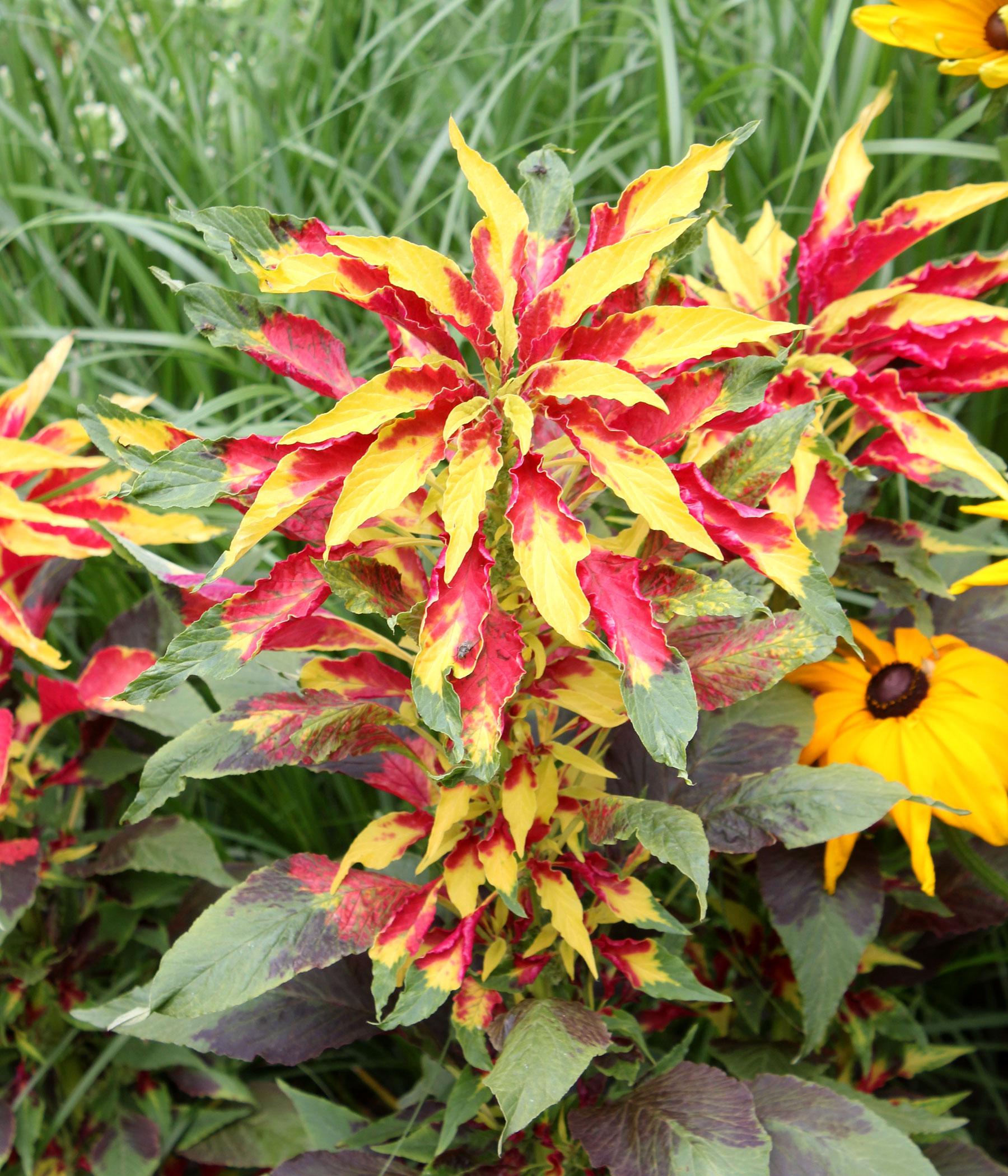 Amaranthus tricolor 4