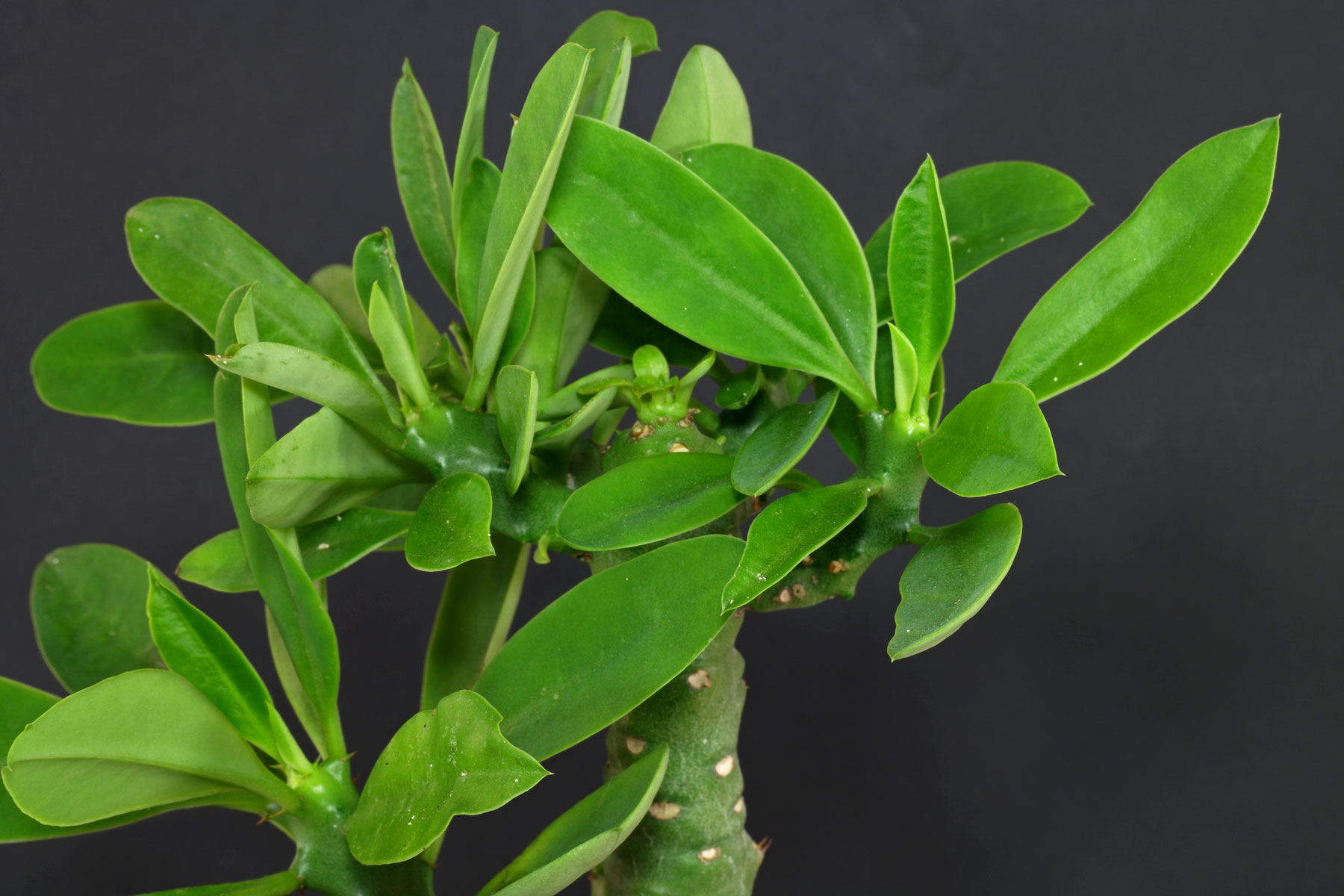 Euphorbia nivulia 2
