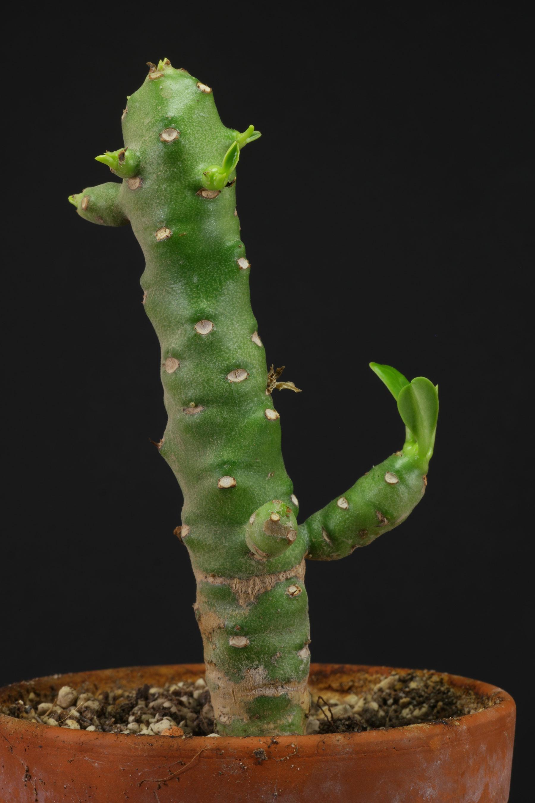 Euphorbia nivulia 3